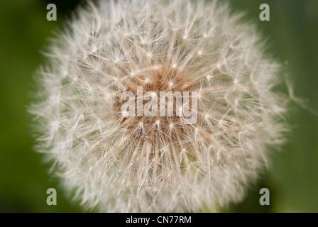 Macro, micro, close up photo, photograph of Dandelion seed head - Stock Photo