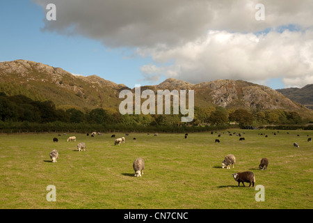 herdwick and other breed sheep in a field in the Eskdale valley in the Lake District on a sunny summer day - Stock Photo