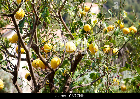 Many big lemons on a tree in south of italy - Stock Photo