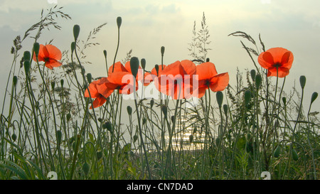 A group of perfect poppies with the north sea in the background taken at dawn - Stock Photo