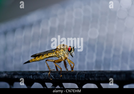 Robberfly in green nature or in the garden - Stock Photo