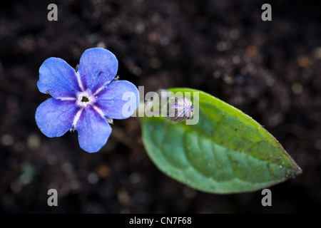 Beautiful blue flower, Omphalodes verna, in Moss, Norway - Stock Photo