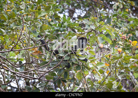 Howler monkey in Soberania national park, Panama province, Republic of Panama. - Stock Photo