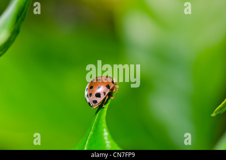 ladybug in the garden or in the green nature - Stock Photo