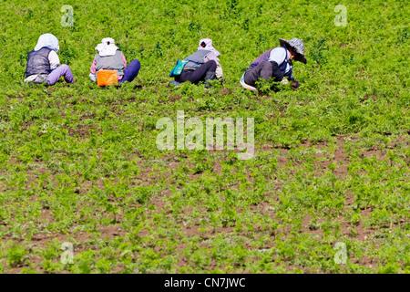 South Korea, Jeju Province, Seongeup, Korean women working in a field - Stock Photo