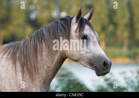 Shagya Arab stallion (Babolna) - Stock Photo