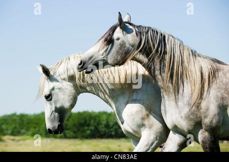 Gray horses - Stock Photo