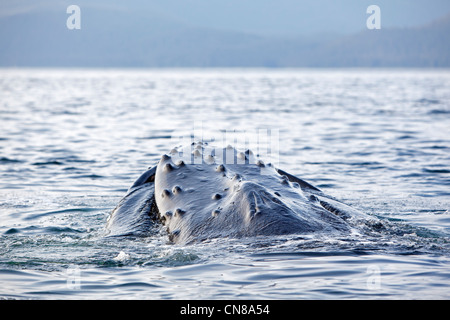 United States, Alaska, Frederick Sound, Humpback whale (Megaptera novaeangliae), mouth open with lateral lunge, - Stock Photo