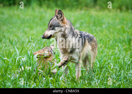 Young Grey Wolves, USA - Stock Photo