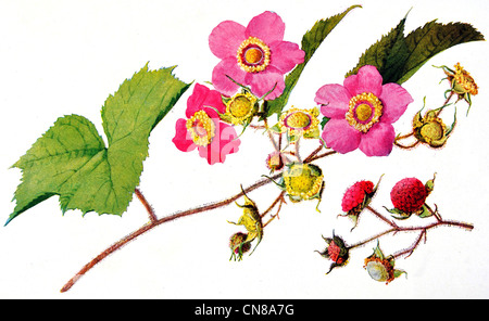 First published 1915 Purple Flowering Rasberry Rubus odoratus - Stock Photo
