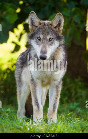 Young Grey Wolf, USA - Stock Photo