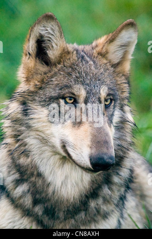 Grey or Gray Wolf - Canis lupus, USA - Stock Photo