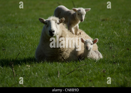 Welsh spring lamb with mum 03 - Stock Photo