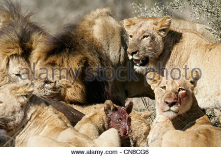 Lion Pride on Buffalo kill - Stock Photo
