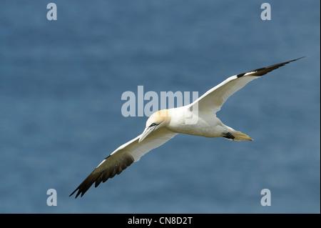 adult gannet in flight against blue sea - Stock Photo