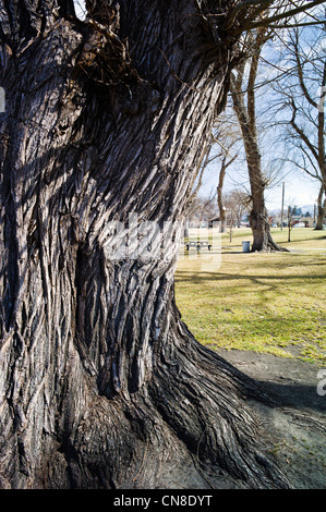 Rough textured bark on old Cottonwood Tree (Populus deltoides); Riverside Park; Salida; Colorado; USA - Stock Photo