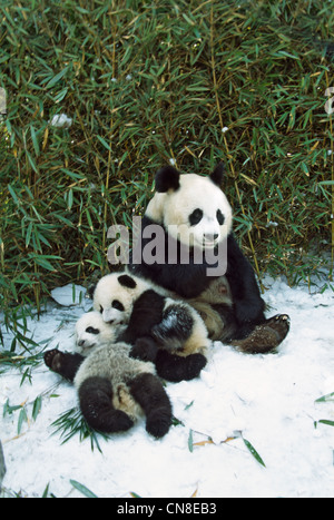 Mother panda with two cubs on snow, Wolong, Sichuan, China - Stock Photo
