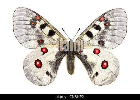 small Apollo (Parnassius phoebus) - Stock Photo