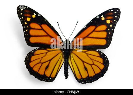 Monarch (Danaus plexippus), a migrant butterfly - Stock Photo