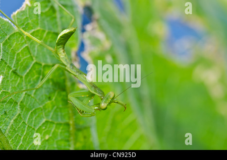 little mantis in green nature or in the garden - Stock Photo