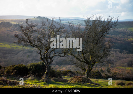 Winter trees near Haytor with Houndtor in background Dartmoor National Park Devon England - Stock Photo