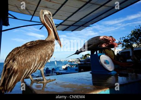 Ecuador, Galapagos Islands, Santa Cruz Island, Puerto Ayora, Galapagos Brown Pelican (Pelecanus occidentalis Urinator) - Stock Photo