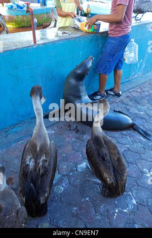 Ecuador, Galapagos Islands, Santa Cruz Island, Puerto Ayora, the fish market, pelicans and Galapagos Fur Seal (Arctocephalus - Stock Photo