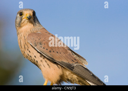 Common Kestrel - Falco tinnunculus - Stock Photo
