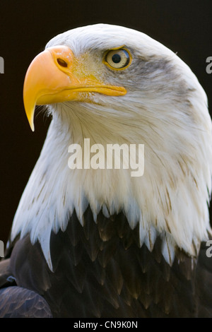 Bald Eagle - Haliaeetus leucocephalus - Stock Photo