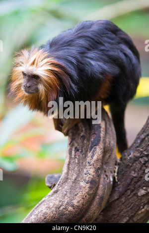 Golden Headed Lion Tamarin - Leontopithecus chrysomelas - Stock Photo