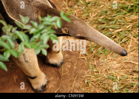 Brazil, Mato Grosso do Sul State, Bonito, giant anteater (Myrmecophaga tridactyla) - Stock Photo