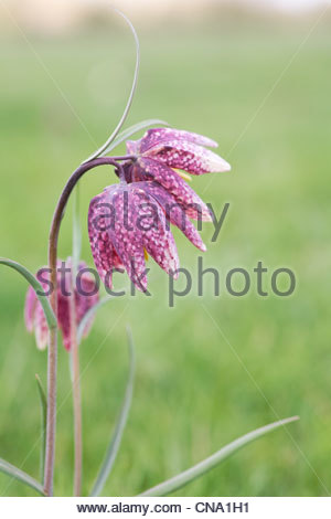 Fritillaria meleagris in an English meadow. Snakeshead fritillary. - Stock Photo