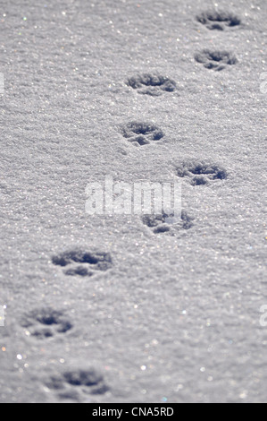 Animal dog tracks prints in the snow - Stock Photo