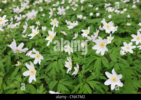 UK. Close-up of Wood Anemones Anemone nemorosa with white flowers flowering in spring - Stock Photo