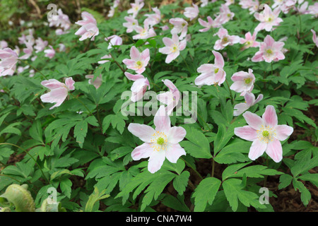 Close-up of Wood Anemones Anemone nemorosa native wildflowers with pink flowers flowering in spring. UK Britain - Stock Photo