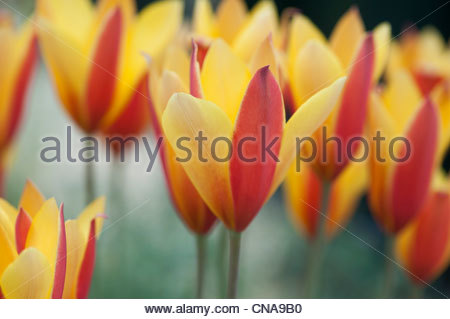Tulipa clusiana chrysantha tubergens. Lady Tulip / Candlestick Tulip - Stock Photo