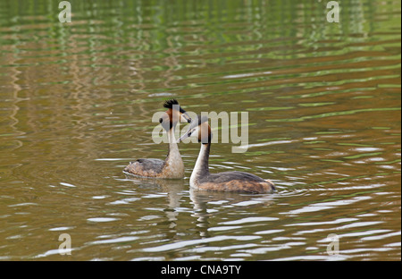 A pair of great crested grebes on a lake ( Podiceps cristatus ) - Stock Photo