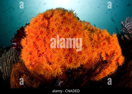 A cluster of bright orange cup corals, Tubastrea sp., brighten a diverse coral reef. Komodo, Indonesia, Pacific - Stock Photo