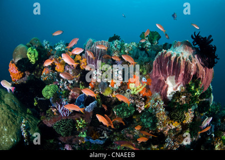 Colorful anthias, Pseudanthias sp., flutter around a diversity of invertebrate marine life on a reef in the Lesser - Stock Photo