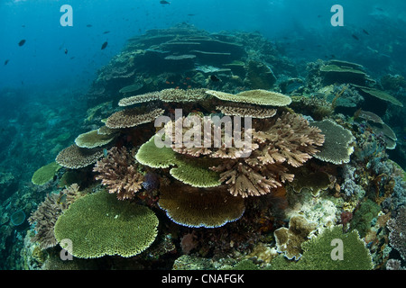 Table corals, Acropora spp., vie for space and sunlight on a shallow reef. Komodo, Indonesia, Pacific Ocean. - Stock Photo