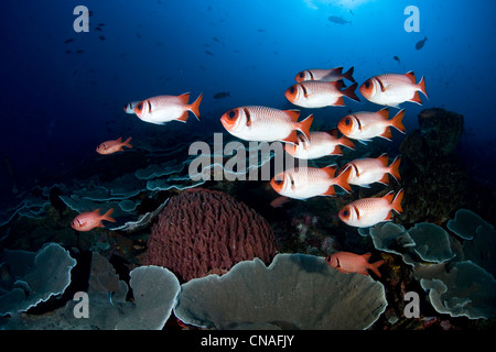 A small school of soldierfish, Myripristis sp., hover over a coral reef during the day. At night they will disperse to feed.
