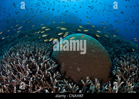 A mass of Threadfin anthias, Pseudanthias huchti, catch zooplankton above hard corals. Komodo, Indonesia, Pacific - Stock Photo