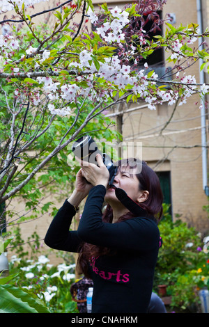 Young Chinese woman taking photograph of cherry blossom on tree Alishan Taiwan. JMH5911 - Stock Photo