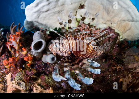 A lionfish, Pterois volitans, swims underneath corals on a diverse reef in the Coral Triangle. Komodo, Indonesia, - Stock Photo