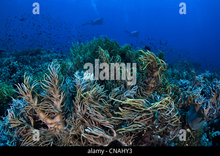 Sinuous soft corals, Sinularia sp., wave in a light current as their polyps catch passing plankton. Komodo, Indonesia, - Stock Photo