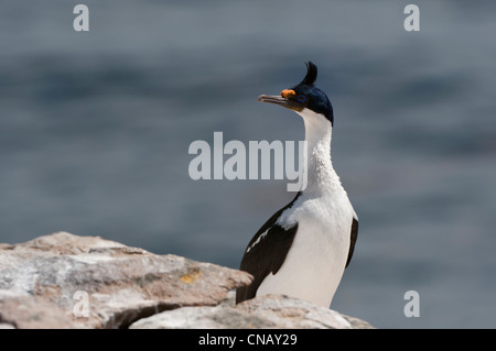 Imperial Shag, formerly Blue-eyed or King Cormorant, (Phalacrocorax atriceps), New Island, Falkland Islands - Stock Photo