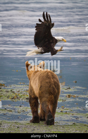 A Brown bear walks along the shore as a Bald Eagle swoops down and catches a salmon, Valdez, Southcentral Alaska, - Stock Photo