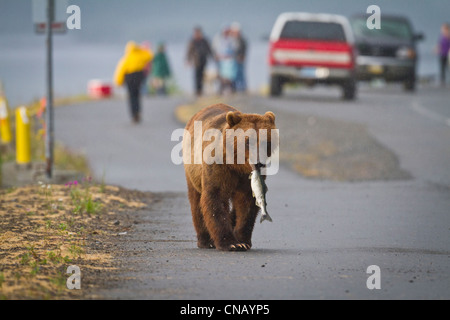 A Brown bear walks down a street near Valdez at Allison Point with a Pink salmon in its mouth, Alaska - Stock Photo