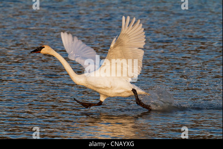 Trumpeter swan taking off of Potter Marsh near Anchorage during September migration, Southcentral Alaska - Stock Photo