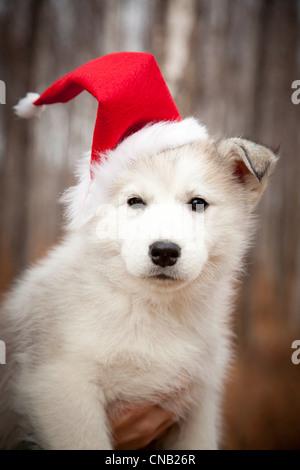 Portait a Siberian husky puppy wearing a red Santa hat, Alaska, Autumn - Stock Photo